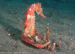 BD-080331-Lembeh-3312504-Hippocampus-kuda.-Bleeker.-1852-[Spotted-seahorse.-Gul-sjöhäst].jpg